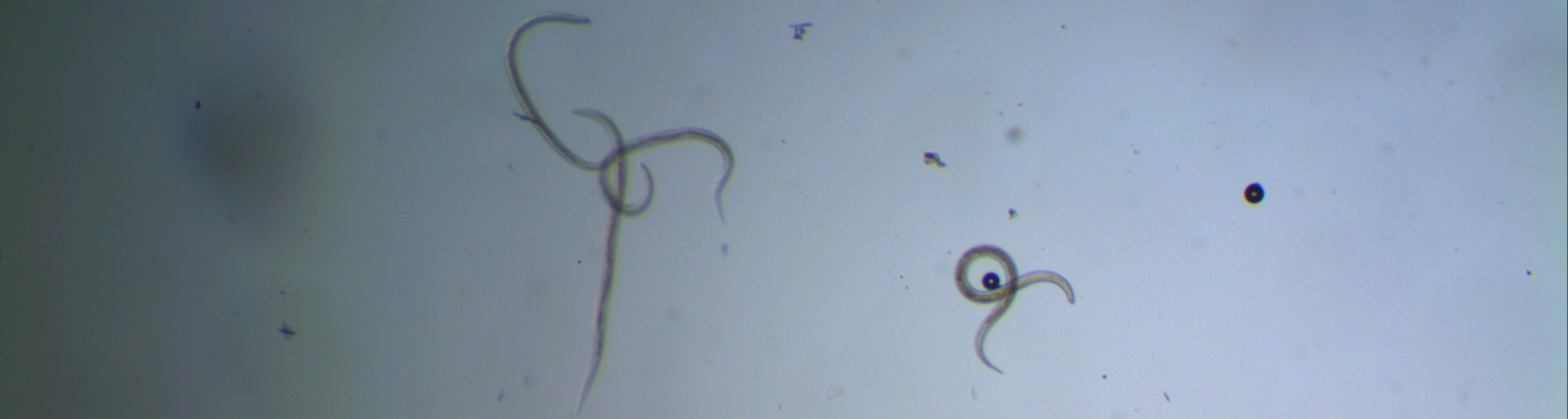 Ridgeway Research Teladorsagia circumcintus