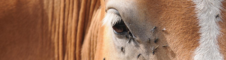 flies on horse ectoparasite