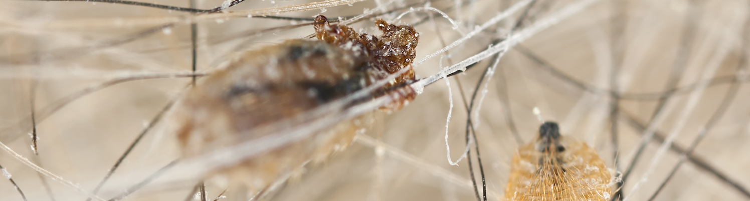 Identify and manage lice infections in animals