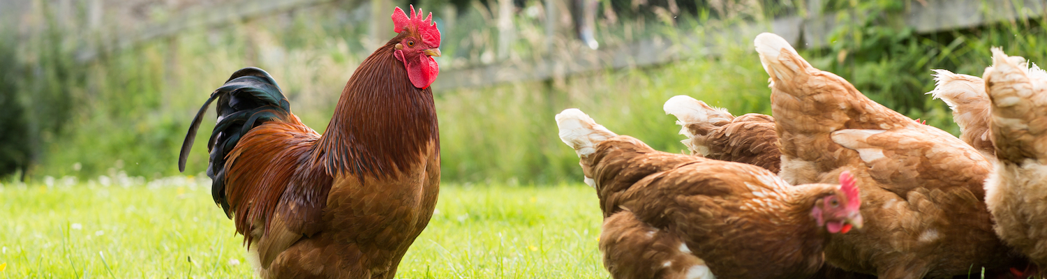 Worm Egg Counts for poultry as part of your effective worming strategy